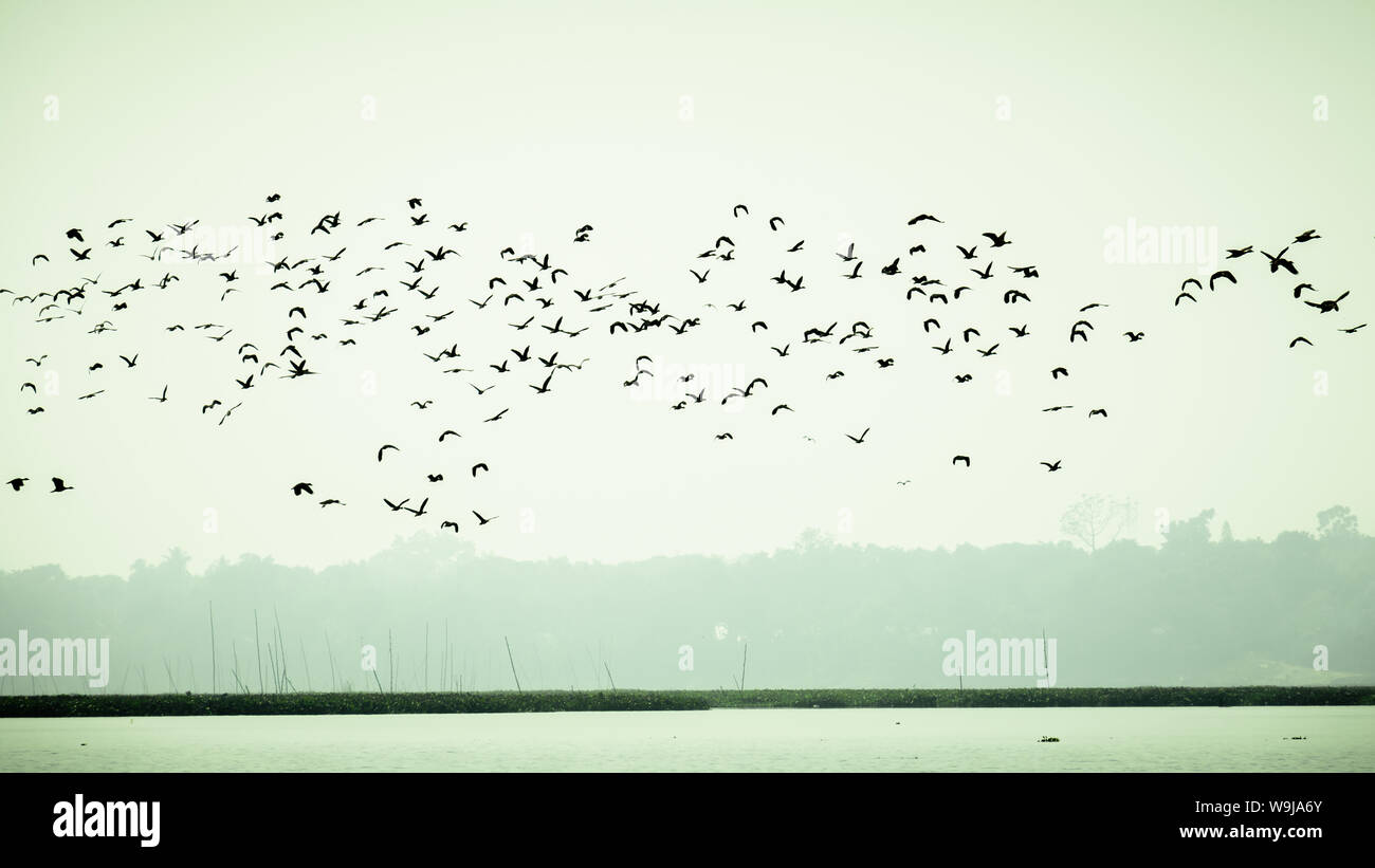 Flock Of Cormorant Shag Birds Flying Over Lake In Winter. Migratory waterfowl fly on their way back to their nesting places, the day about to end in E Stock Photo