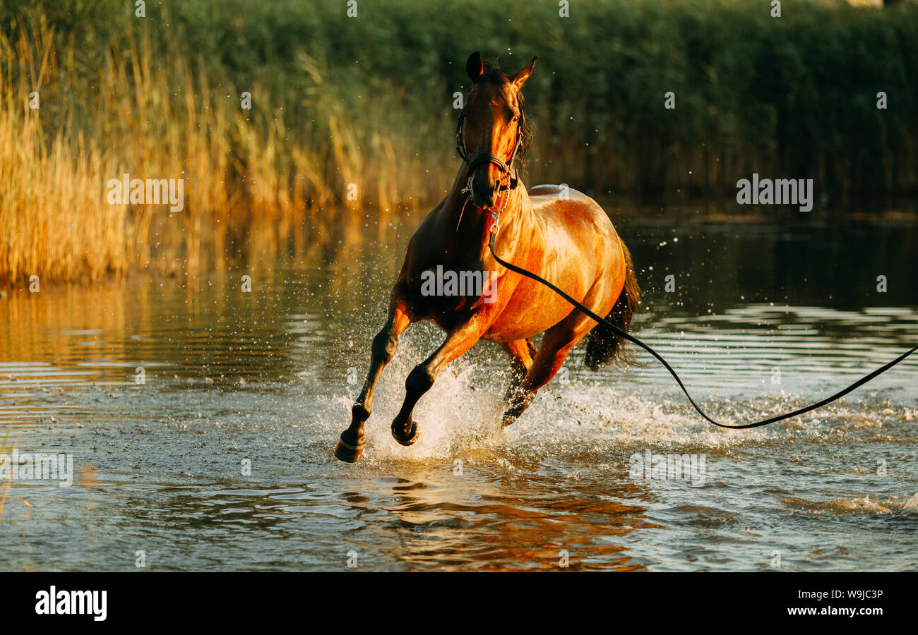A brown horse runs through the water and produces a lot of splashes at sunset. Stock Photo