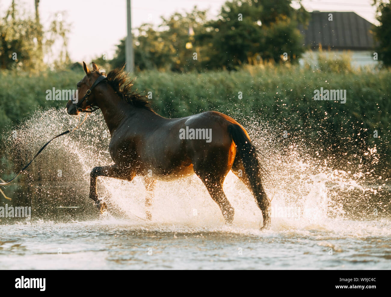 A brown horse runs through the water and produces a lot of splashes. Stock Photo