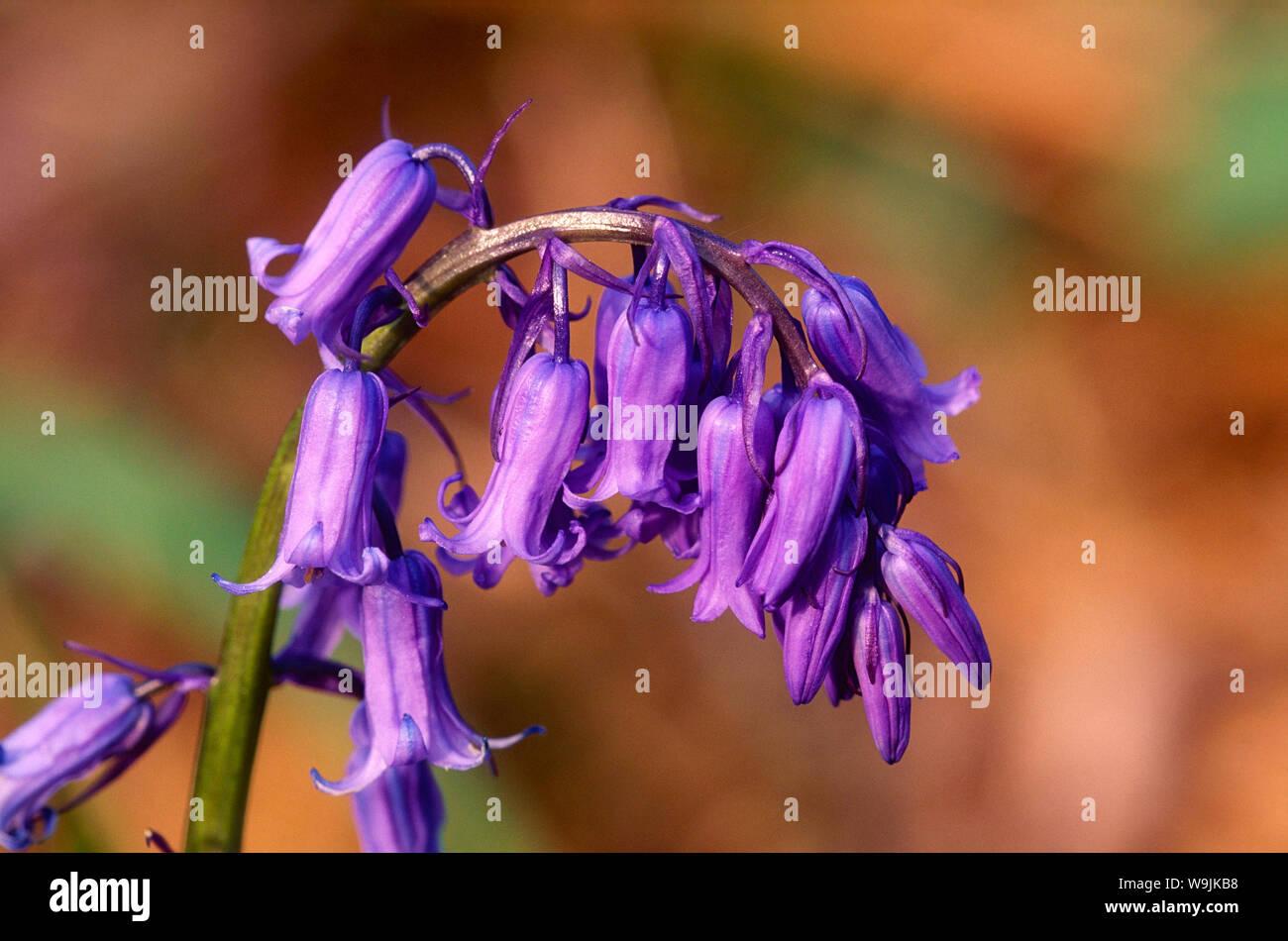 Hasenglöckchen, Scilla non-scripta, Liliaceae, Blume, blühend, Blüten, Pflanze, Schottland, Grossbritannien, 30071003 Stock Photo