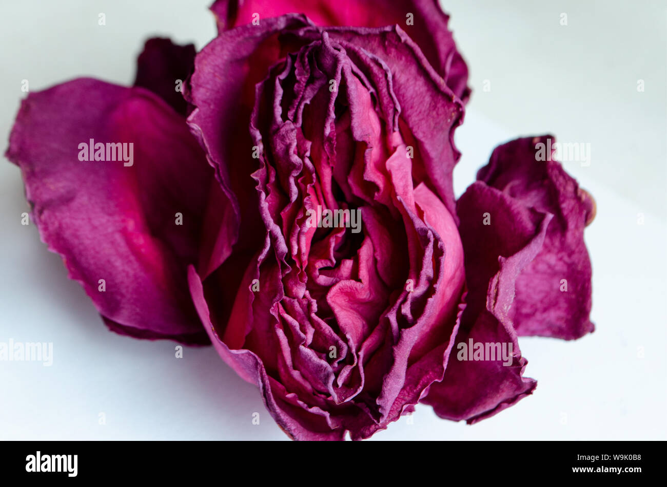 dry rose Concept female vagina and female health. Stock Photo