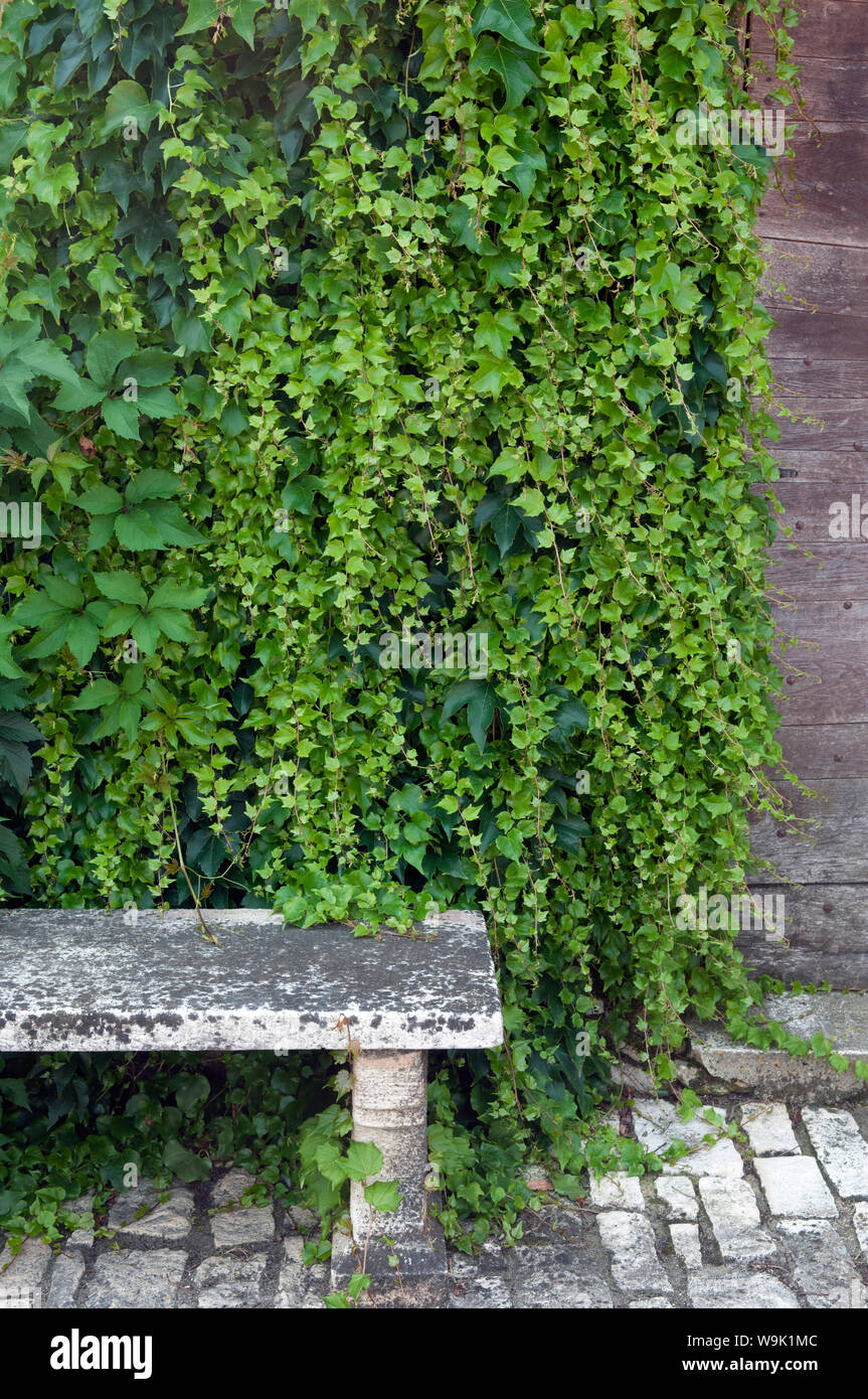 A Stone Bench In Front Of An Ivy Clad Wall Stock Photo