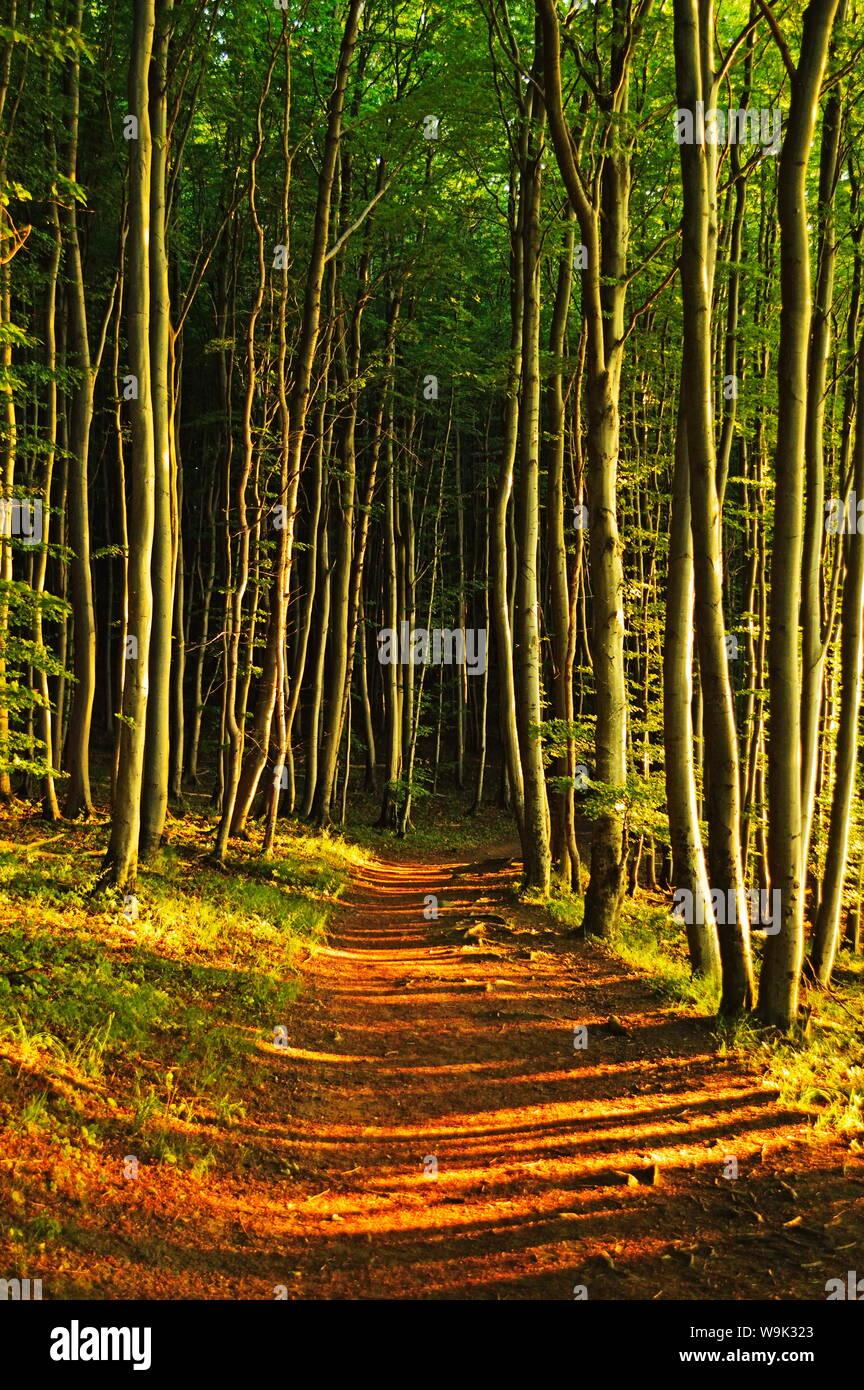 Beech forest, Jasmund National Park, Ruegen Island, Mecklenburg-Vorpommern, Germany, Europe Stock Photo