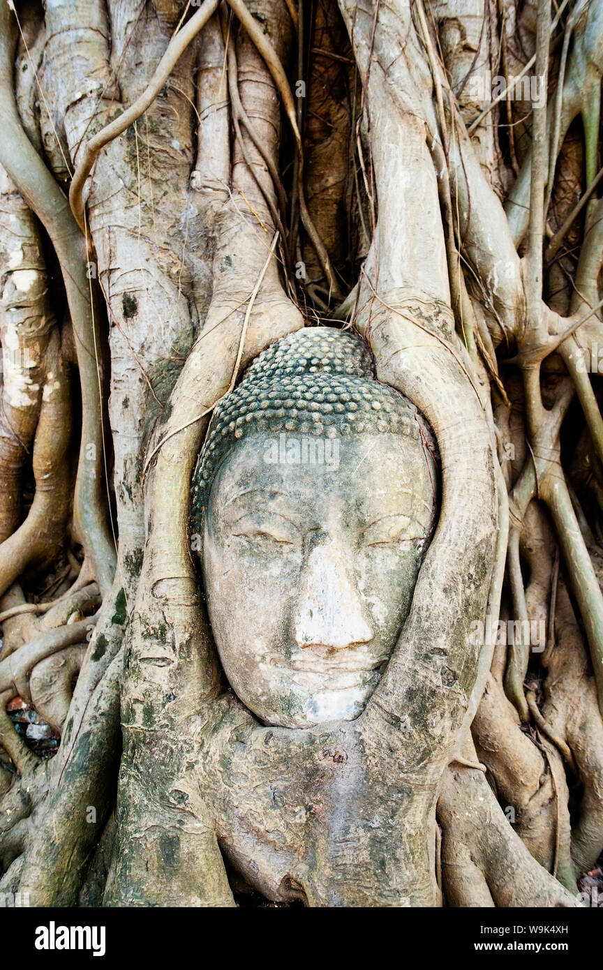 Large stone Buddha head in fig tree roots, Wat Mahathat, Ayutthaya, UNESCO World Heritage Site, Thailand, Southeast Asia, Asia Stock Photo