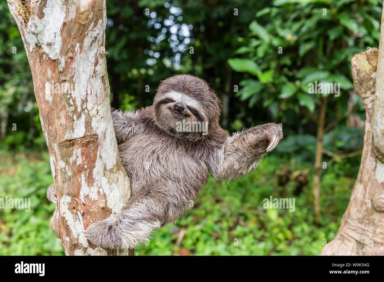 A captive pet brown-throated sloth (Bradypus variegatus), San Francisco Village, Loreto, Peru, South America Stock Photo