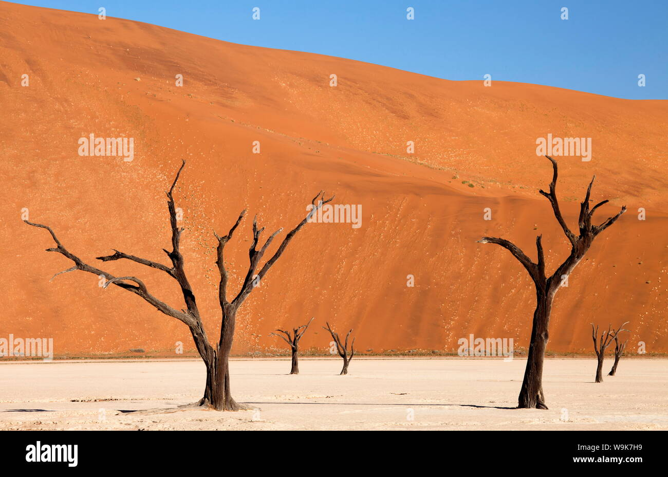 Dead camelthorn trees said to be centuries old against the towering orange sand dunes of the Namib Desert at Dead Vlei, Namib Desert, Namibia Stock Photo