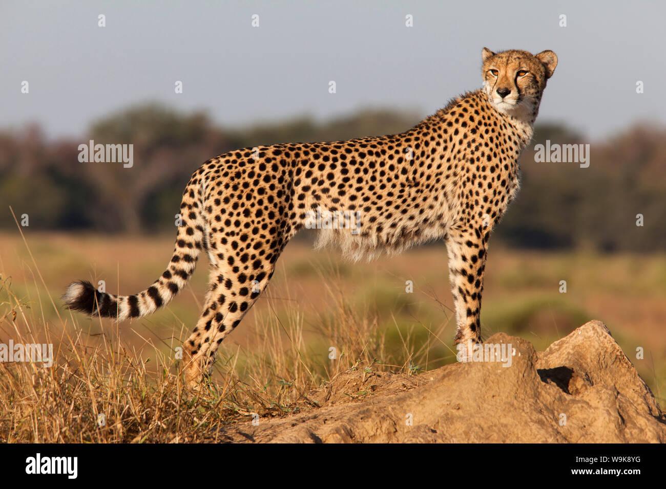 Cheetah female (Acinonyx jubatus), Phinda private game reserve, Kwazulu Natal, South Africa, Africa Stock Photo