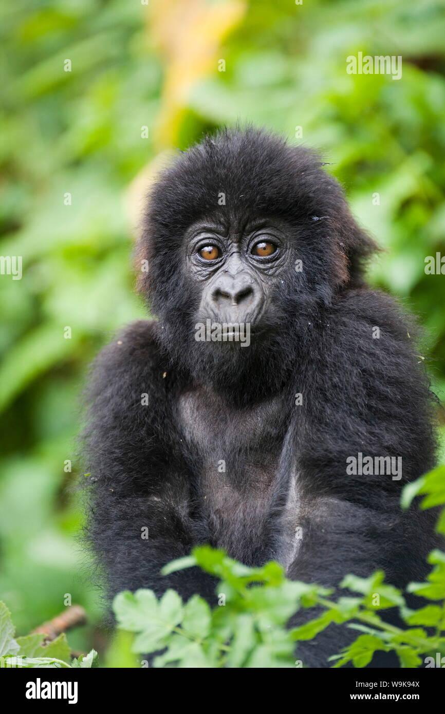 Infant mountain gorilla (Gorilla gorilla beringei), Amahoro A group, Volcanoes National Park (Parc National des Volcans), Rwanda, Africa Stock Photo