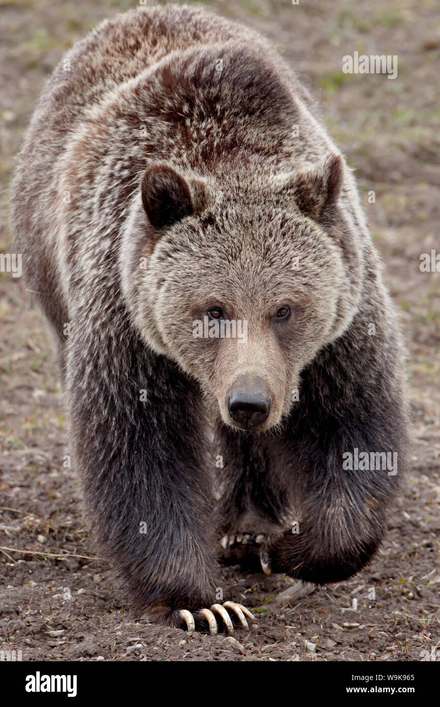 Grizzly bear (Ursus arctos horribilis), Yellowstone National Park, Wyoming, United States of America, North America Stock Photo