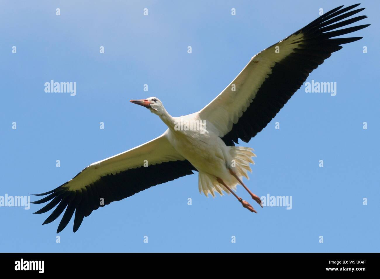 Captive reared juvenile White stork (Ciconia ciconia) in flight over the Knepp Estate soon after release, Sussex, UK, August 2019. Stock Photo