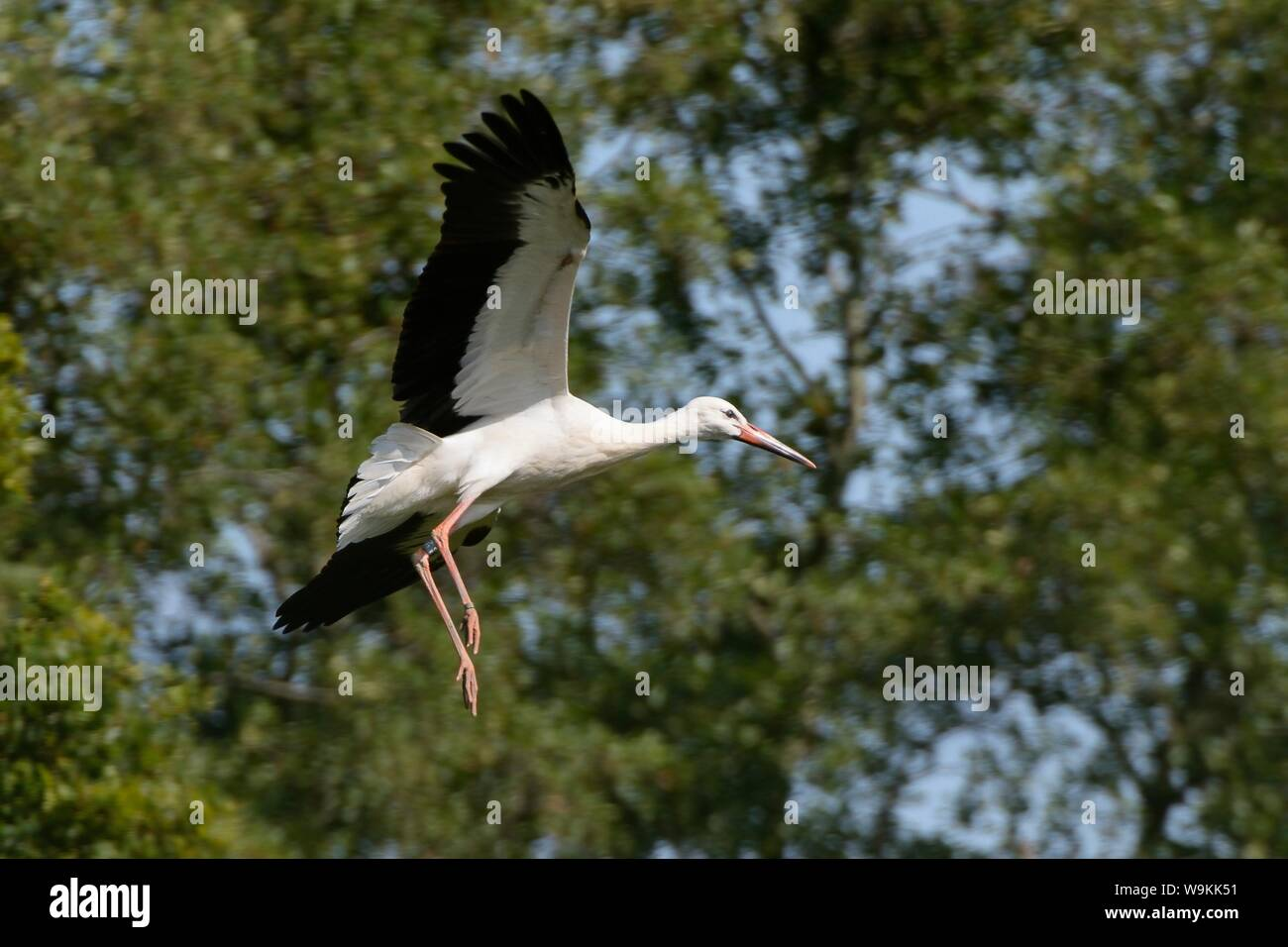 Captive reared juvenile White stork (Ciconia ciconia) flying from a temporary holding pen on release day on the Knepp Estate, Sussex, UK, August 2019. Stock Photo