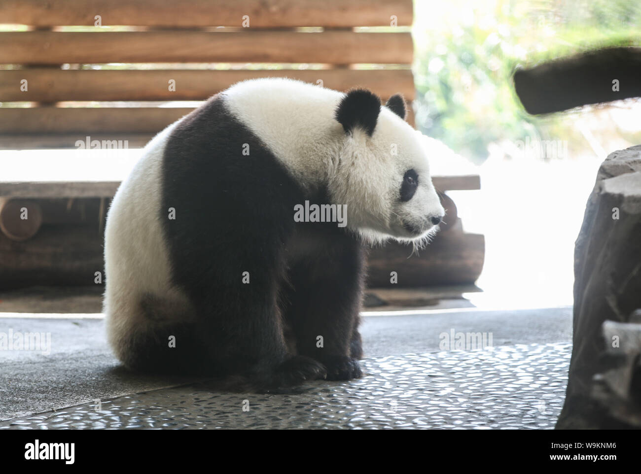 Berlin. 14th Aug, 2019. Photo taken on Aug. 14, 2019 shows panda Meng Meng at the Zoo Berlin in Berlin, capital of Germany. Zoo Berlin is getting ready to welcome one or two newborn panda cubs as experts say it's very likely that the 6-year-old panda Meng Meng is pregnant. Credit: Shan Yuqi/Xinhua/Alamy Live News Stock Photo