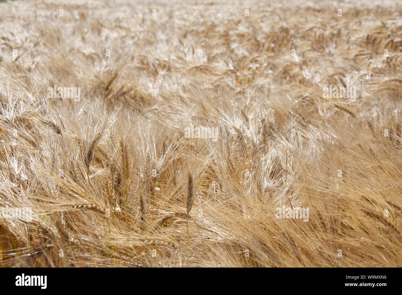 Barley (Hordeum vulgare): a full frame of wind-blown golden Barley Stock Photo