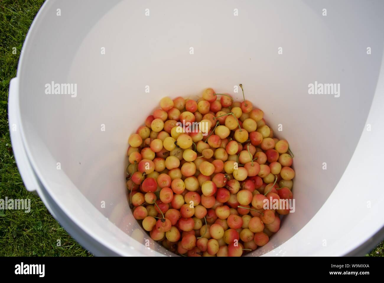 Cherries (Ranier): harvested yellow cherries collected in a white plastic bucket Stock Photo