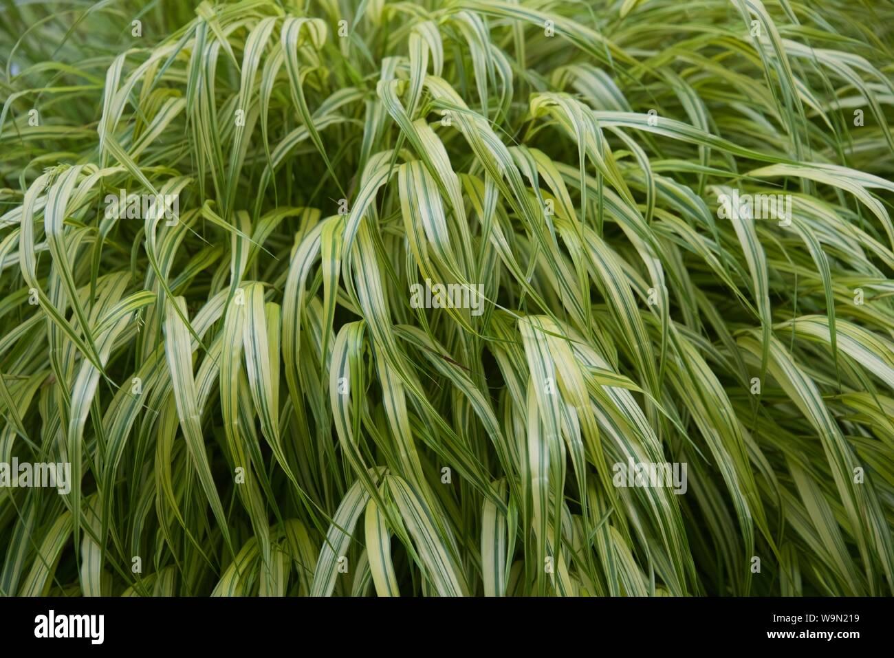 Japanese Forest Grass (hakonechloa macra aureola) a single plant filling the frame Stock Photo