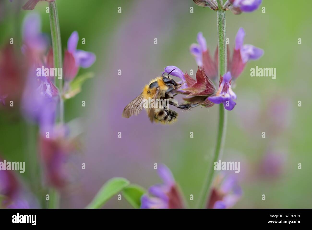 Bumble bee (Bombus): a single bumble bee collecting nectar from a flowering Sage Stock Photo