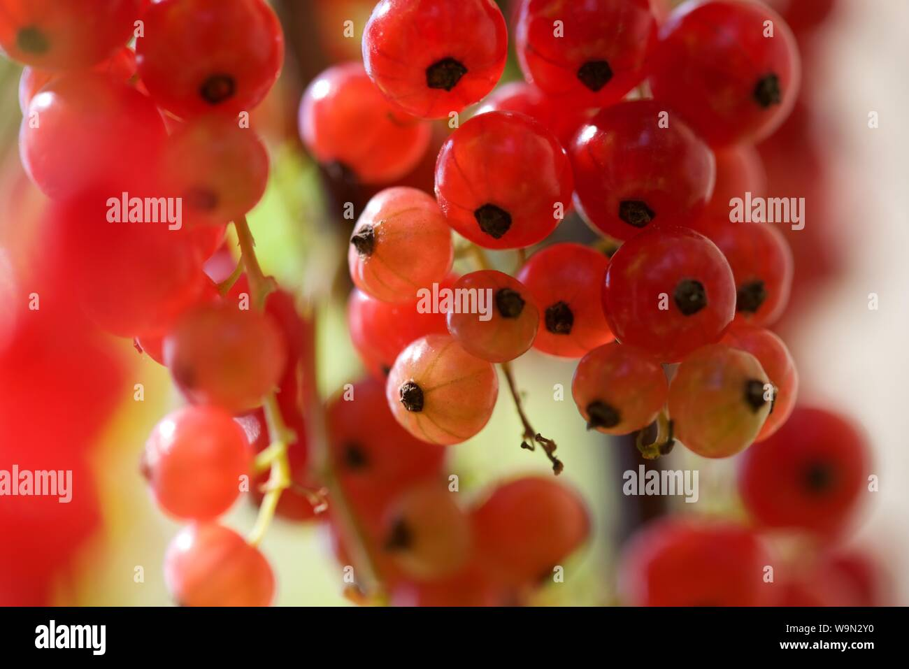Red Currants (Ribes rubrum): red currents ripening on the bush Stock Photo