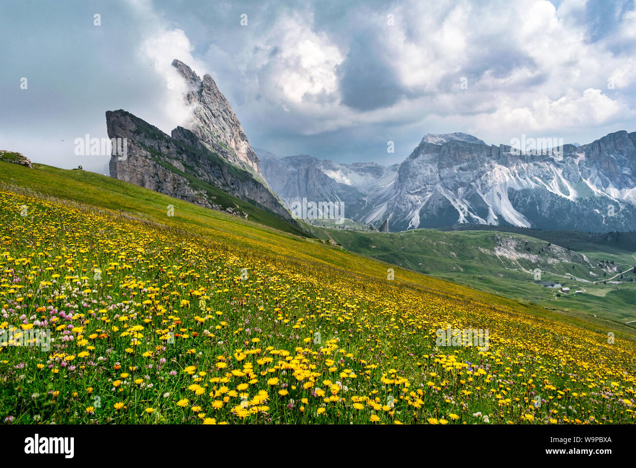 Wild flowers growing on the side of Seceda mountain in the Italian Dolimites of the Alps Stock Photo