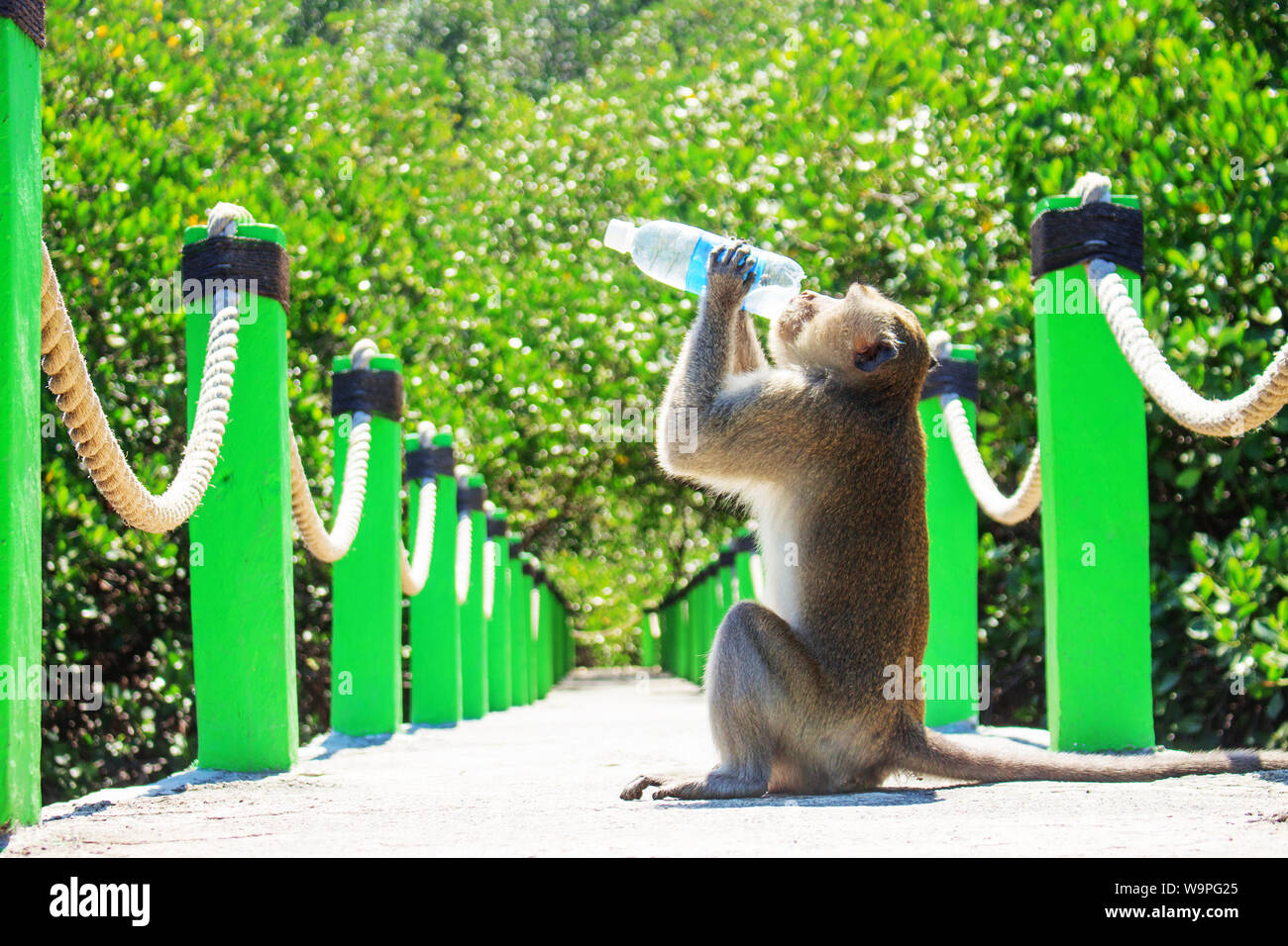 A Monkey Sitting in The Middle Bridge Holding Drink Water From Bottle Stock Photo
