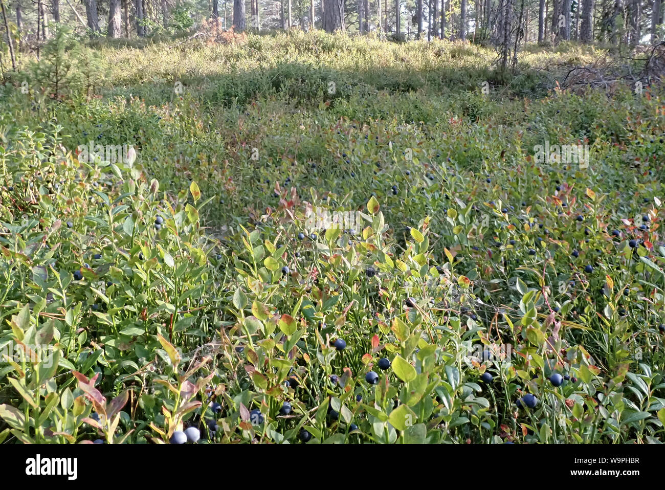 Finnish blueberry berries harvest time,Bothnian Bay, North Ostrobothnia, Hailuoto island, Finland Stock Photo