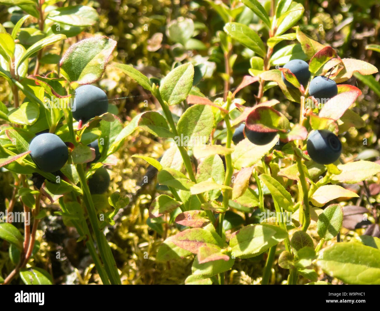 Finnish blueberry berries harvest time,Bothnian Bay, North Ostrobothnia, Hailuoto island, Finland Stock Photo