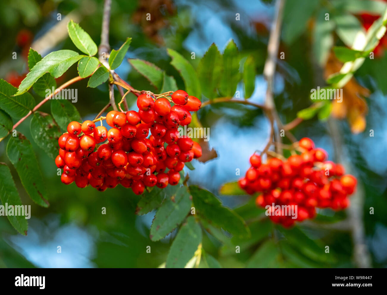 Small Red Berries From A Mountain Ash Tree Sorbus Aucuparia Or