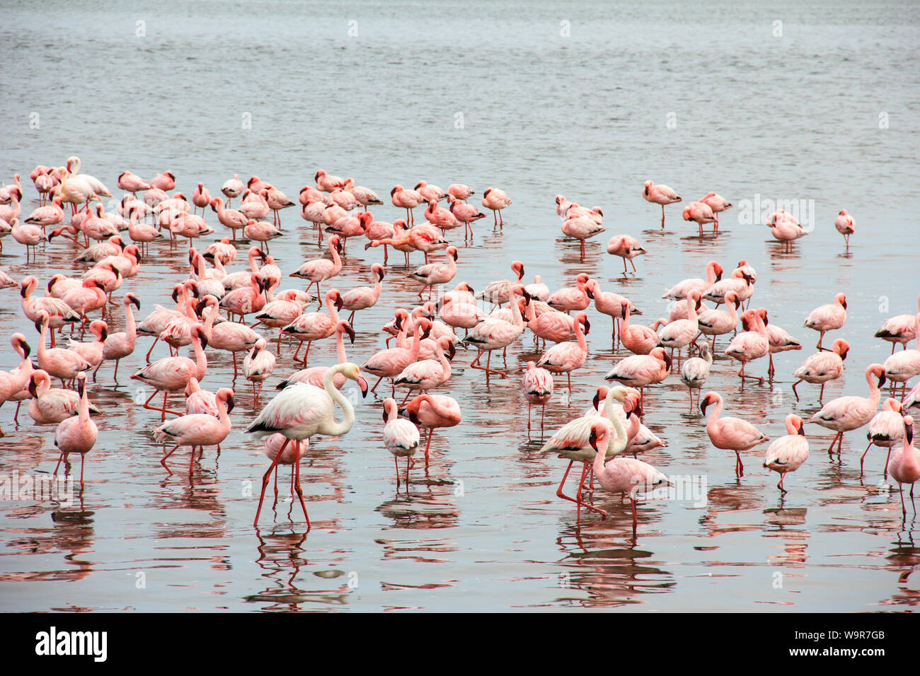 Lesser Flamingo, Greater Flamingo, Walvis Bay, Namibia, Africa, (Phoeniconaias minor), (Phoenicopterus roseus) Stock Photo