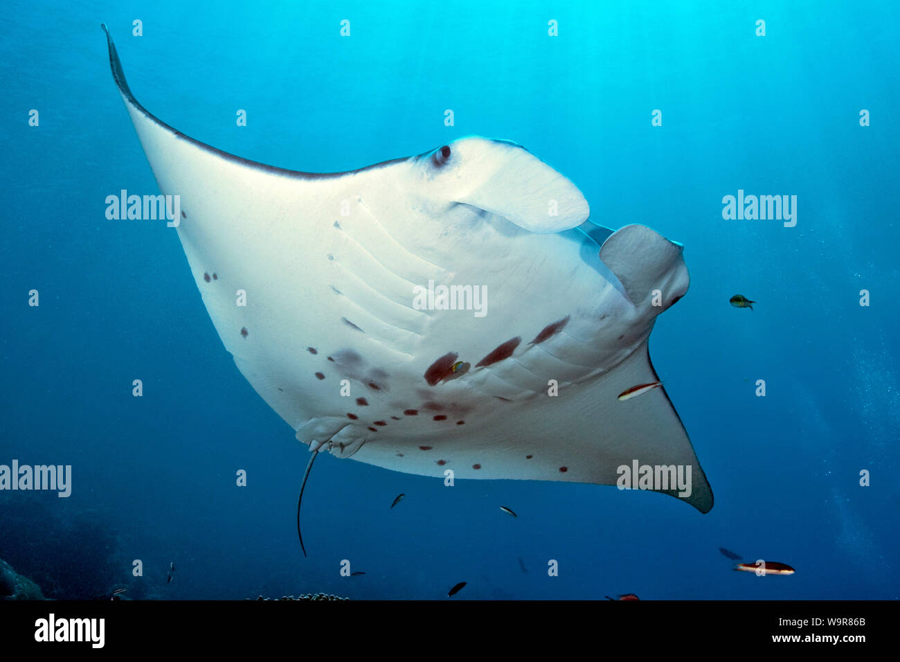 mantaray, reef manta, huge ray, (Manta alfredi) Stock Photo