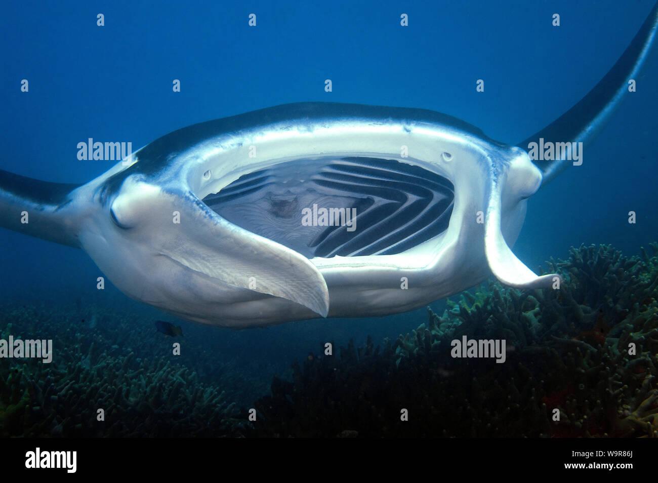 mantaray, devil's ray, huge ray, (Manta birostris) Stock Photo