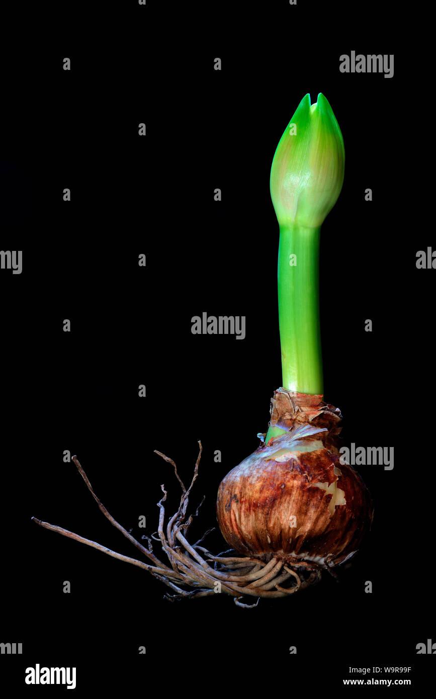 Amaryllis hippeastrum, Nymph, Ritterstern, austreibende Zwiebel, austreibende Knolle Stock Photo