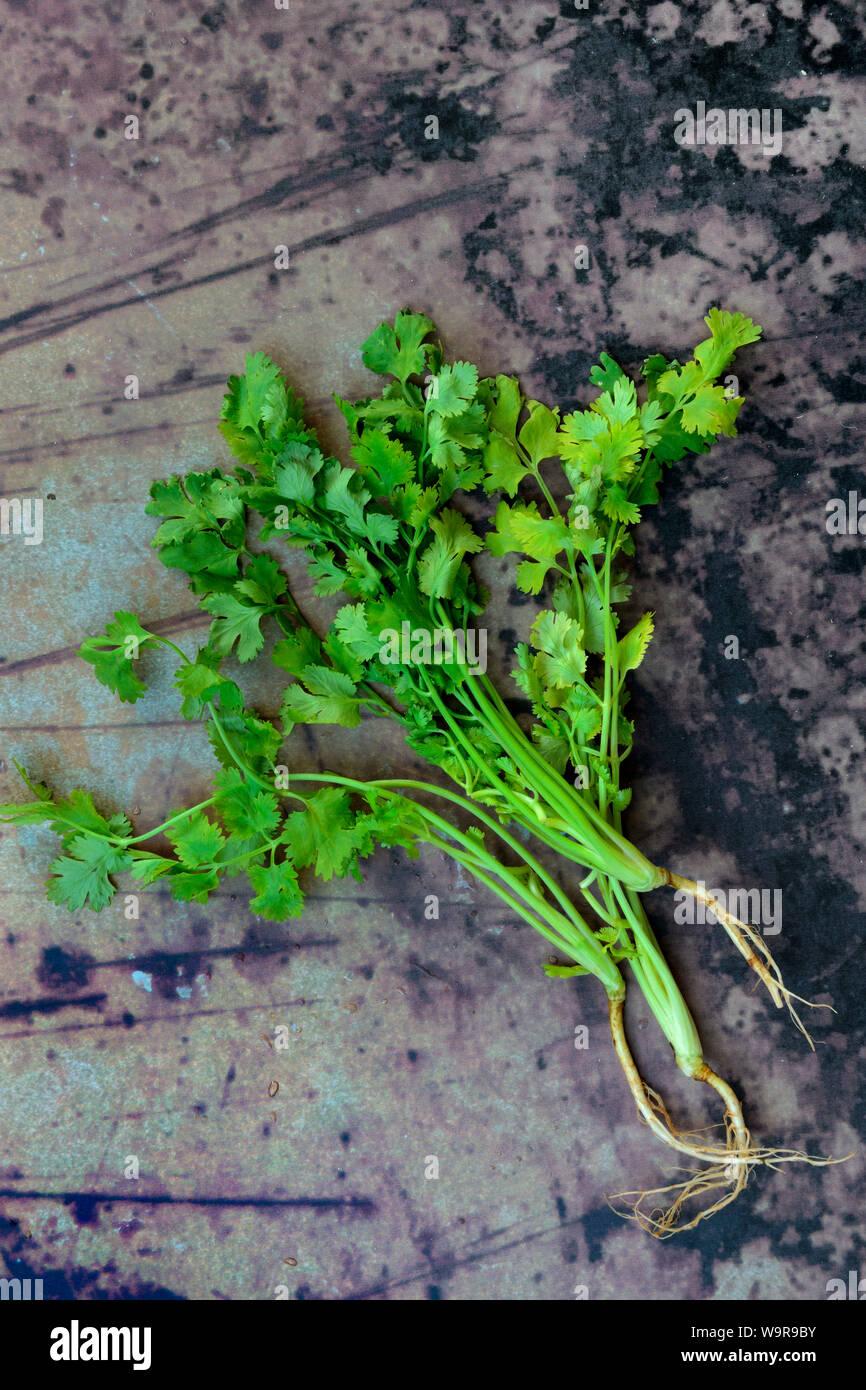 Echter Koriander, Pflanze mit Wurzel, Coriandrum sativum Stock Photo