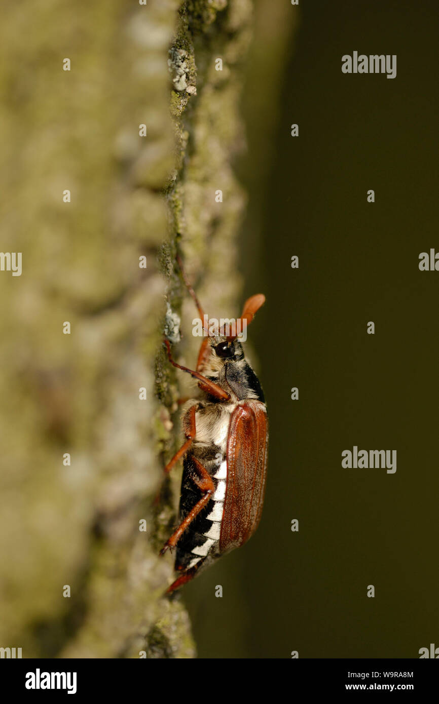 Common cockchafer on oak trunk , Melolontha melolontha Stock Photo
