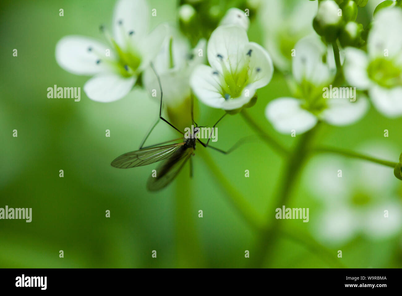 macro shot of an insect with long wings on a lush flower in the forest Stock Photo
