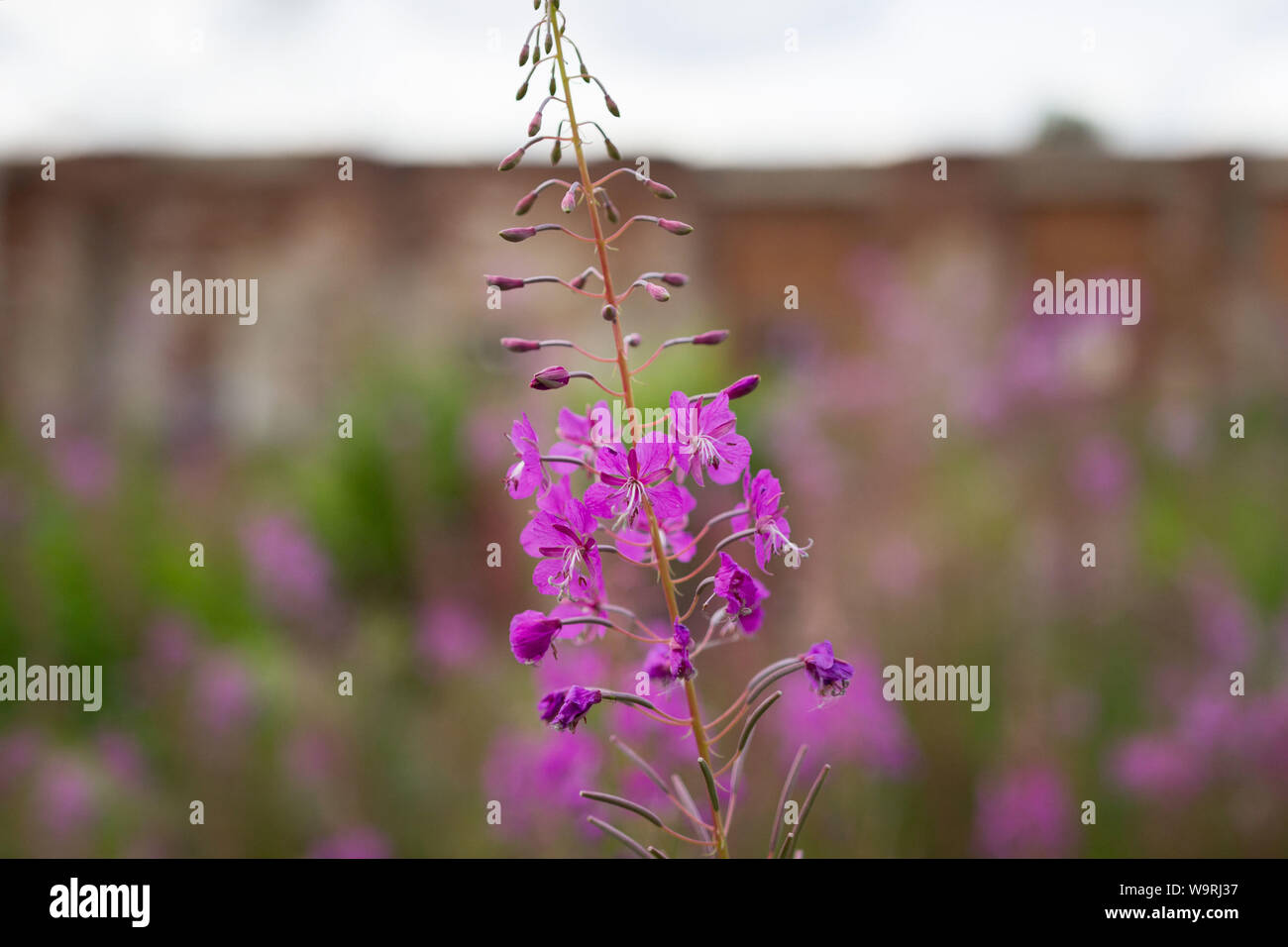 Pink Ivan Tea or blooming Sally in the field. Willow-herb at sunset against the background of ancient brick ruins Stock Photo