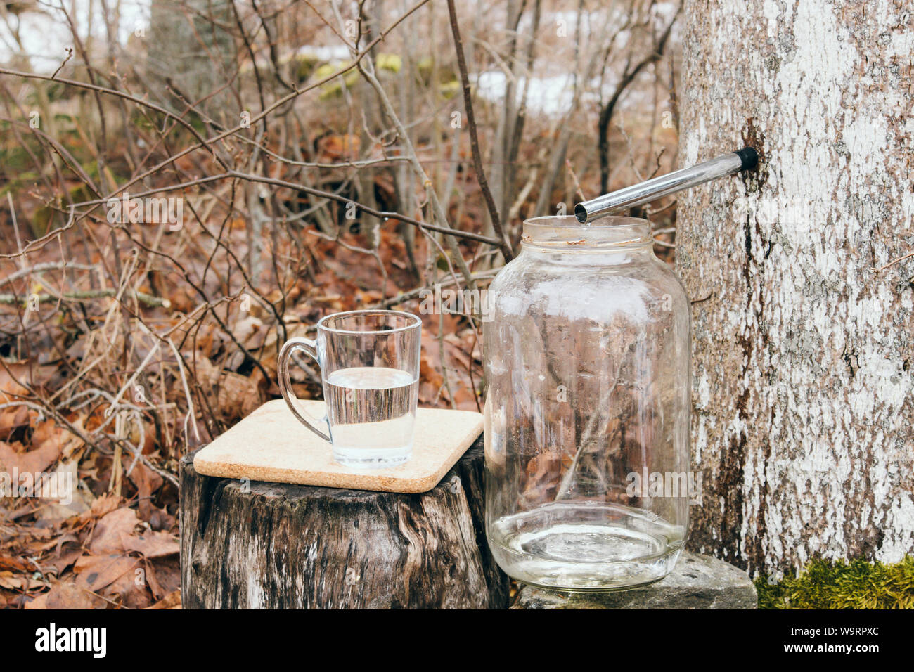 Gathering maple tree juice sap in spring outdoors. Maple trees are tapped by drilling holes into their trunks and collecting the exuded sap. Stock Photo