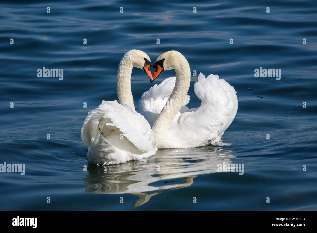 Swan couple on Lake Como (Italy) Stock Photo