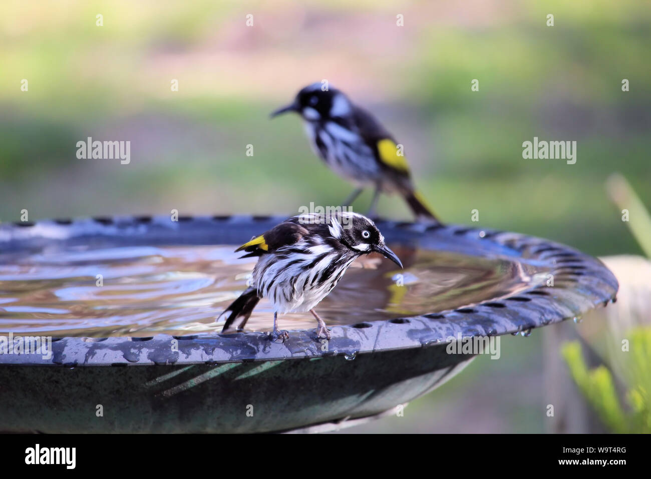 Honeyeater Bird High Resolution Stock Photography And Images Alamy