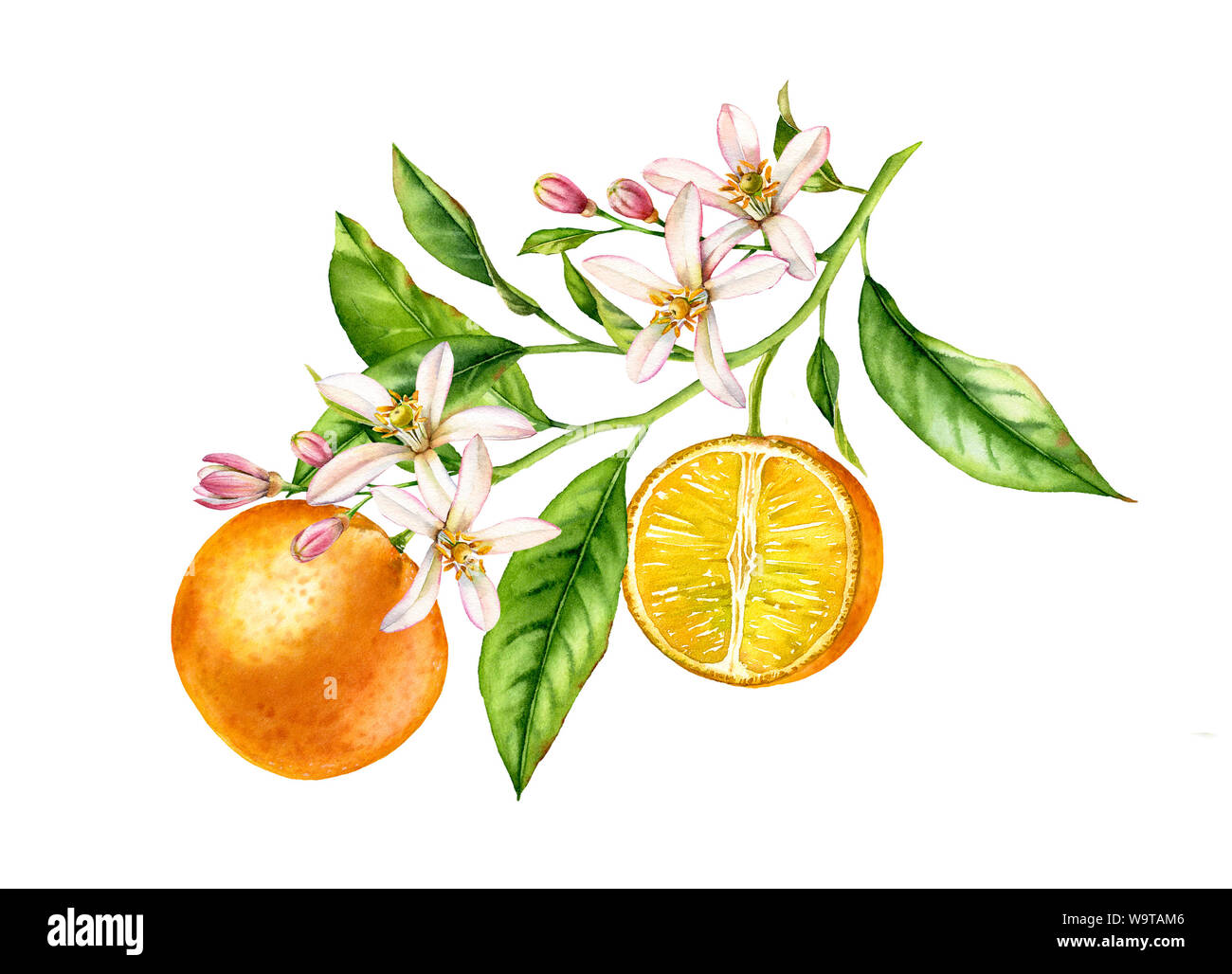 Orange Fruit Tree Branch With Flowers Leaves Realistic Botanical Watercolor Floral Composition Blooming Half Slice Citrus Isolated Artwork On White Stock Photo Alamy