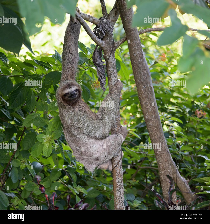 Three-toed sloth, Brown-throated three toed sloth, Bradypus variegatus, manuel Antonio National Park, CR Stock Photo