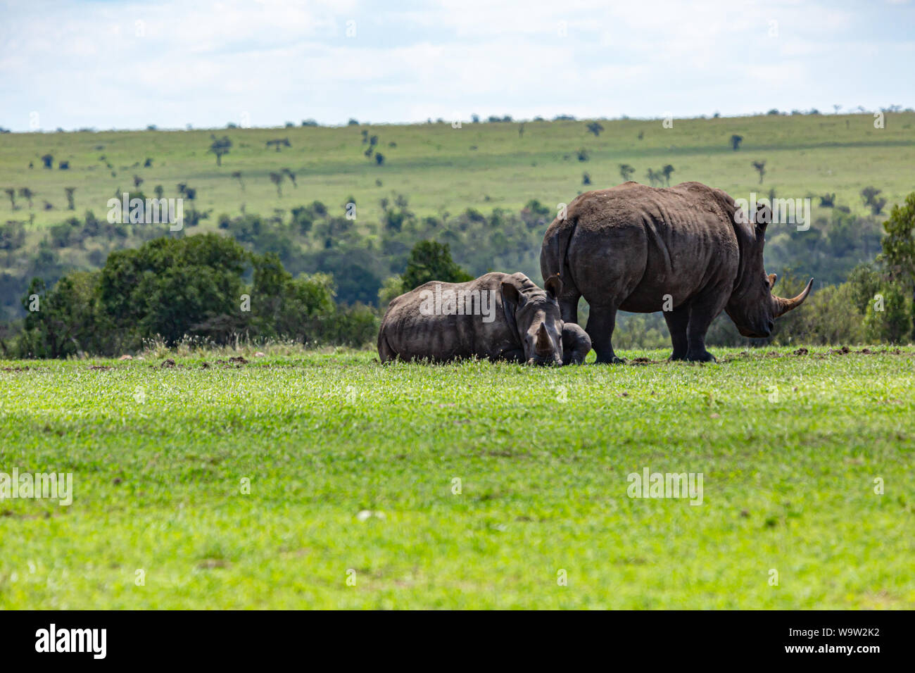 Colour photograph of female Southern White Rhinoceros with calf in landscape orientation, taken in Kenya. - Stock Photo