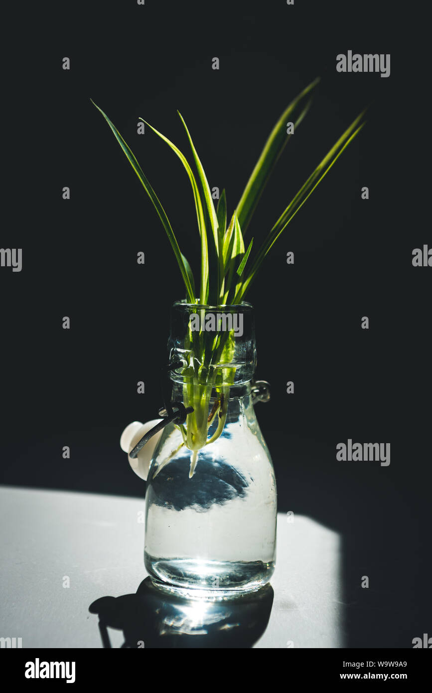 Propagating A Spider Plant Chlorophytum Comosum Baby Also Know As A Spiderette Or Plantlet In Water The Roots Just Starting To Grow Stock Photo Alamy