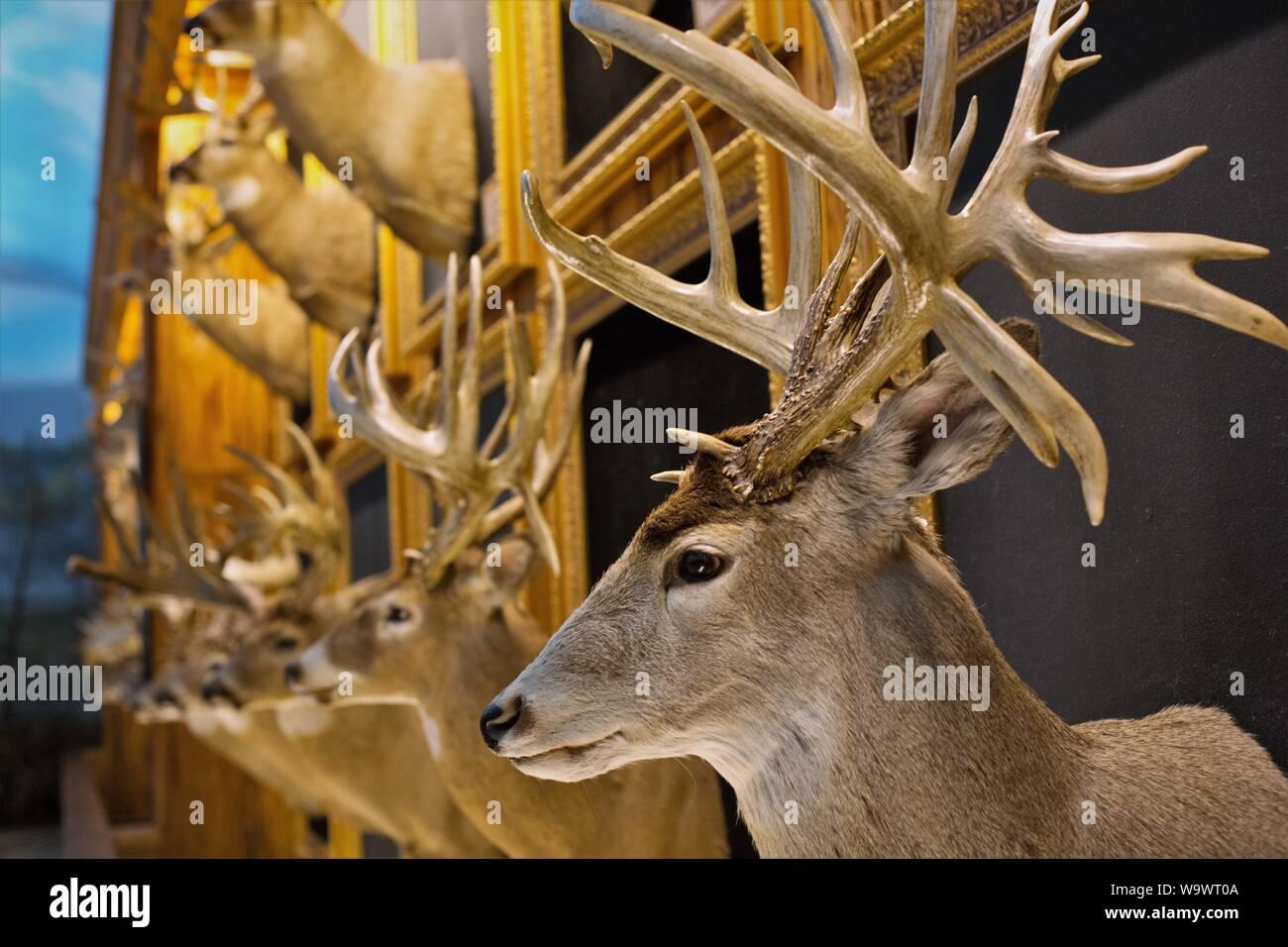 Taxidermy deer heads on display in the Bucks and Bulls room