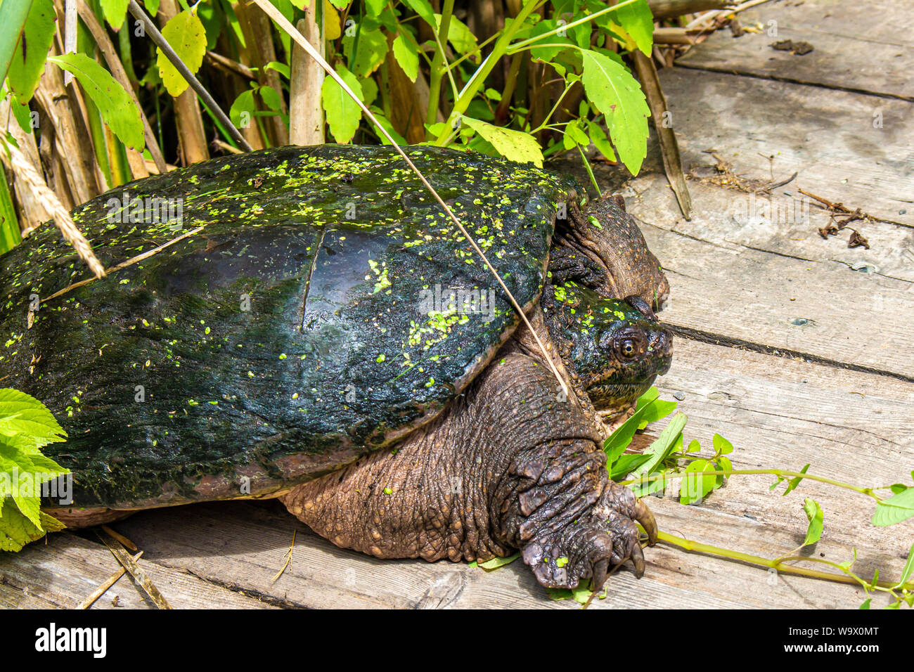 A common snapping turtle emerges from the swampy wetlands and lush foliage lining a boardwalk, into the sunlight. Stock Photo