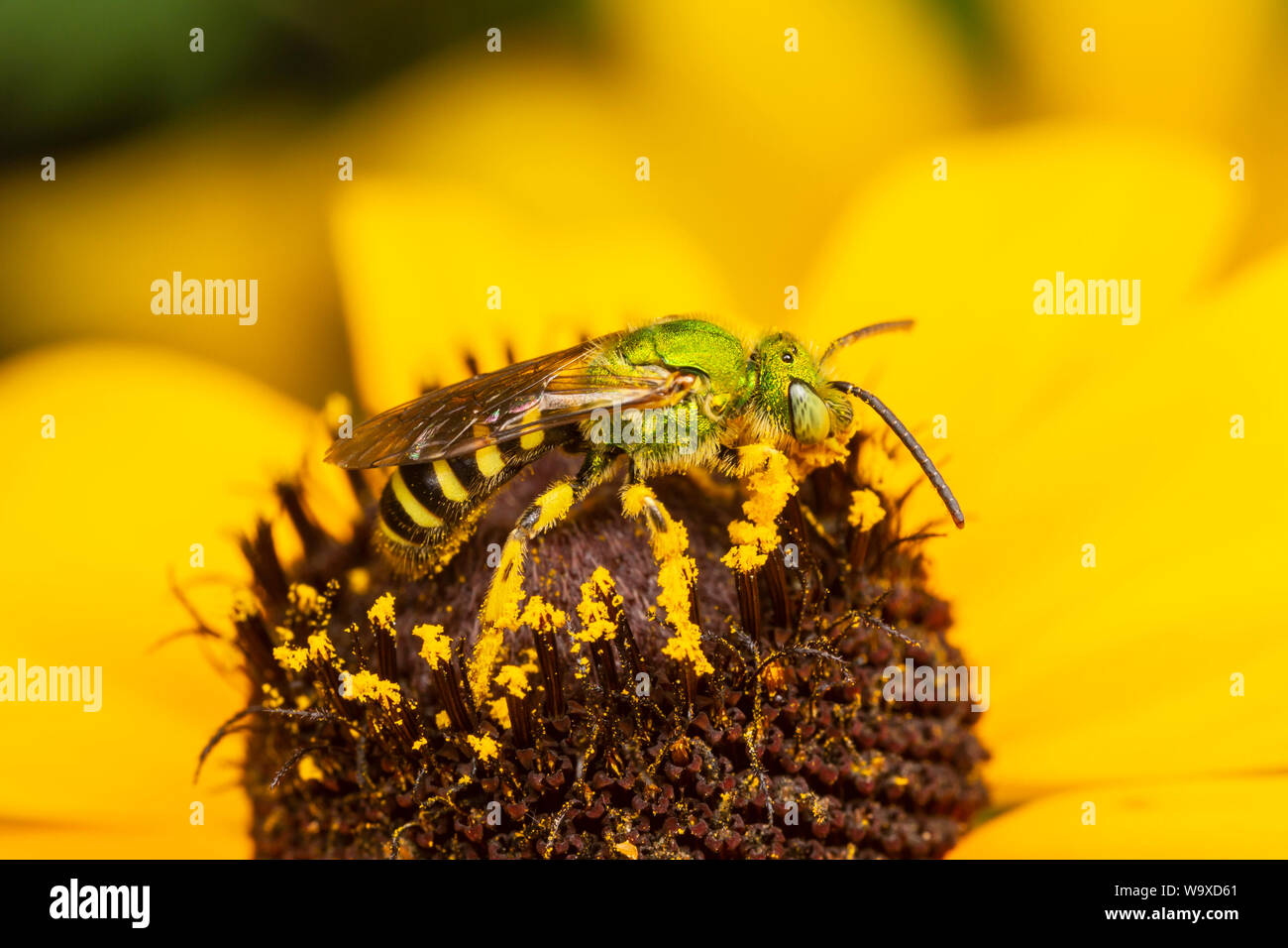 A male Bicolored Striped-Sweat Bee (Agapostemon virescens) collects nectar and pollen on a Black-eyed Susan flower. Stock Photo