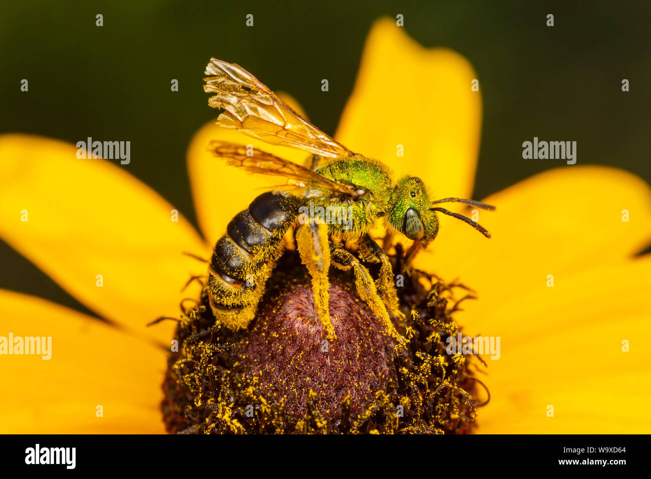 A female Bicolored Striped-Sweat Bee (Agapostemon virescens) collects nectar and pollen on a Black-eyed Susan flower. Stock Photo