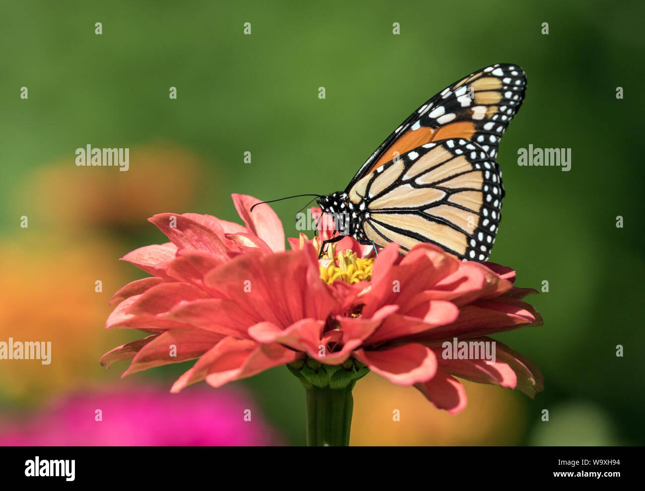 Closeup of Monarch Butterfly ( Danaus plexippus) taking nectar from Zinnia flower. Stock Photo