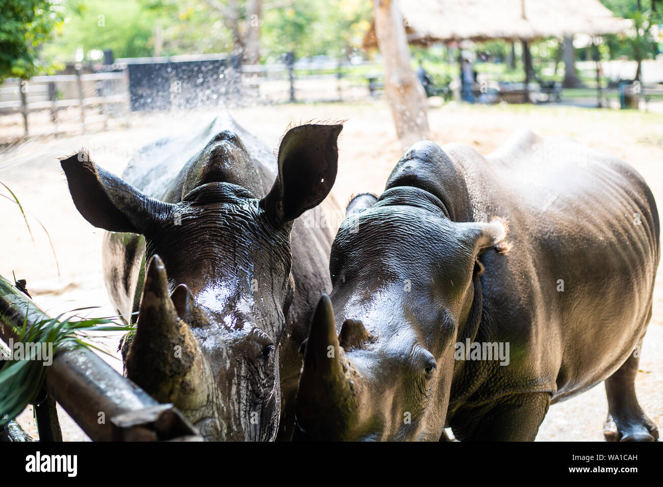 cute male bull Rhino or Rhinoceros. The concept of animals in the zoo Stock Photo