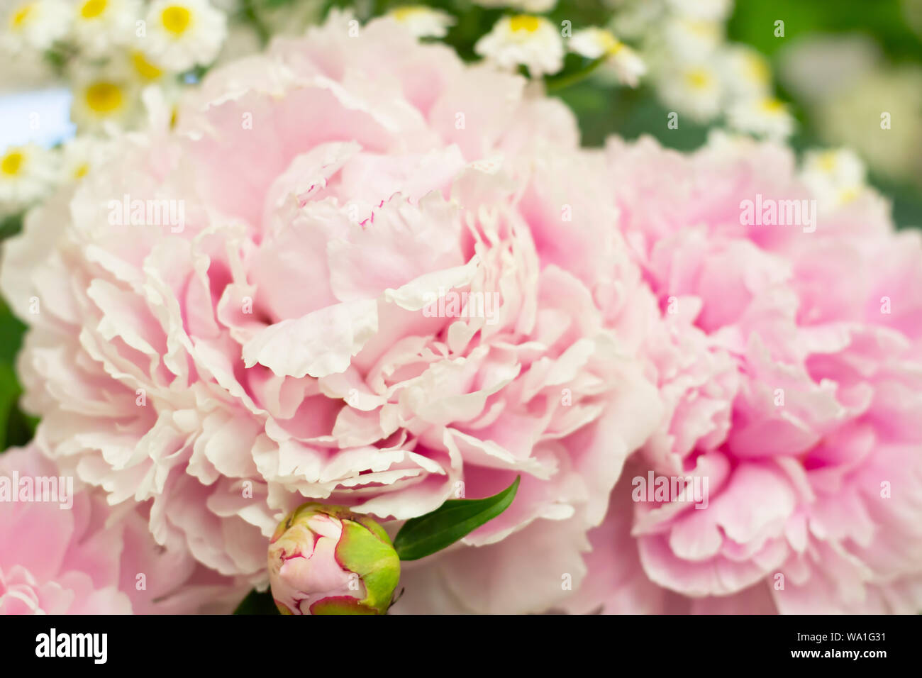 Closeup of beautiful pink Peonie flower on green background Stock Photo