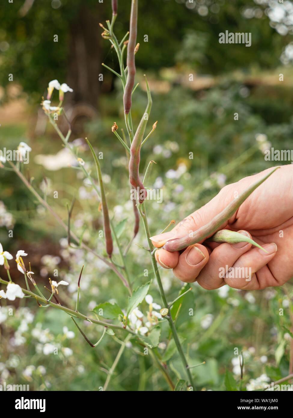 Gardener harvesting rat-tail radish (Raphanus sativus var. mougri) pods. Stock Photo