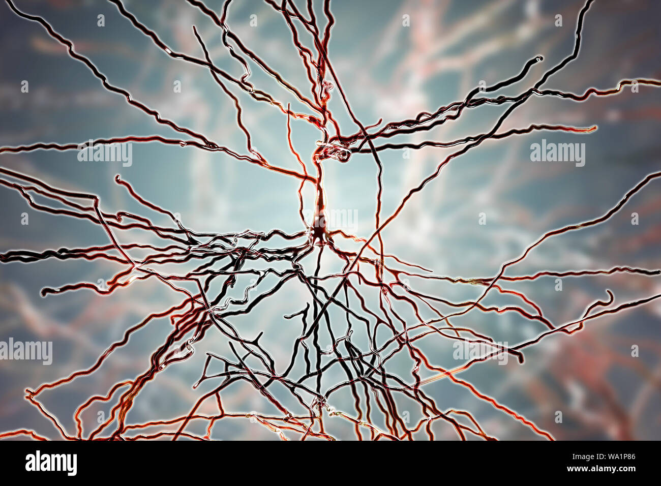 Pyramidal neurons. Illustration of pyramidal nerve cells from the cerebral cortex of the brain. Pyramidal cells are so named for their triangular cell bodies. Each cell body has numerous processes (dendrites) that collect and transmit information from other nerve cells and sensory cells. Each cell body also has an axon leading from it, through which it passes information to other cells. Stock Photo
